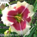 Foto: Daglelie 'Cranberry Winter'
