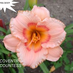 Foto: Daglelie 'Coventry Countess'