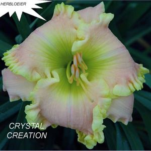 Foto: Daglelie 'Crystal Creation'
