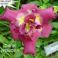 Foto: Daglelie 'Dark Wonder'