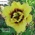 Foto: Daglelie 'Dashing Double'