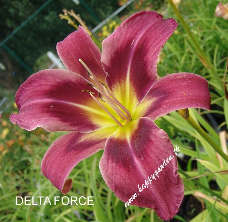 Foto: Daglelie 'Delta Force'