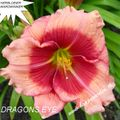Foto: Daglelie 'Dragons Eye'