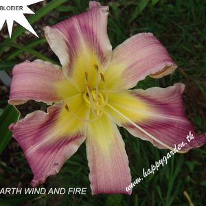 Foto: Daglelie 'Earth Wind And Fire'
