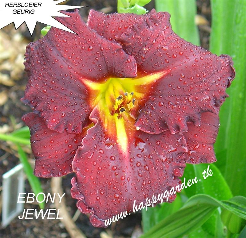 Foto: Daglelie 'Ebony Jewel'