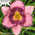 Foto: Daglelie 'Edge Of Darkness'