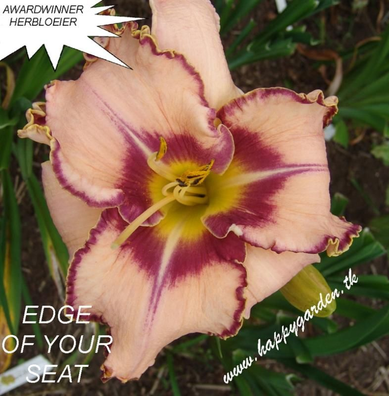 Foto: Daglelie 'Edge Of Your Seat'