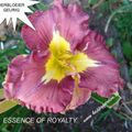 Foto: Daglelie 'Essence Of Royalty'
