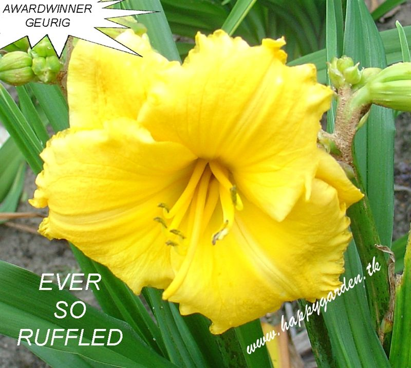 Foto: Daglelie 'Ever So Ruffled'