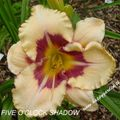 Foto: Daglelie 'Five O'clock Shadow'