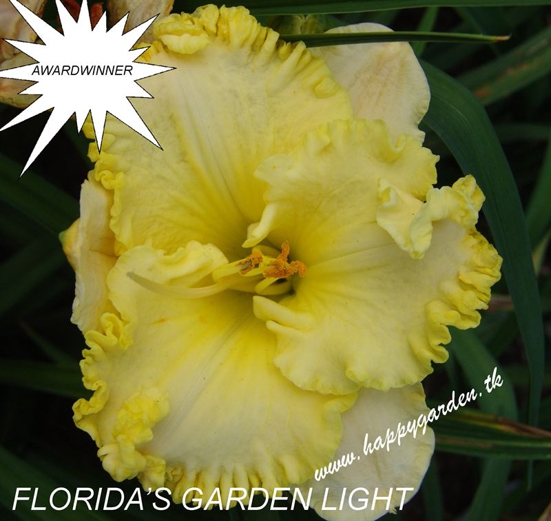 Foto: Daglelie 'Florida's Garden Light'