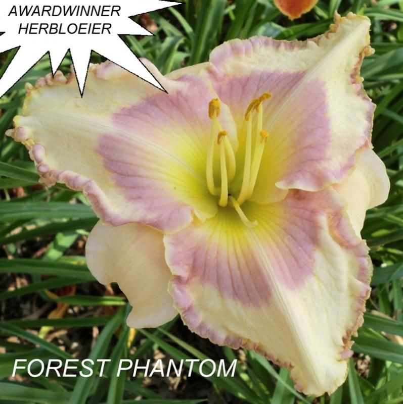 Foto: Daglelie 'Forest Phantom'