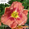 Foto: Daglelie 'Fox Hunter'