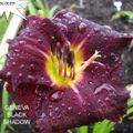 Foto: Daglelie 'Geneva Black Shadow'