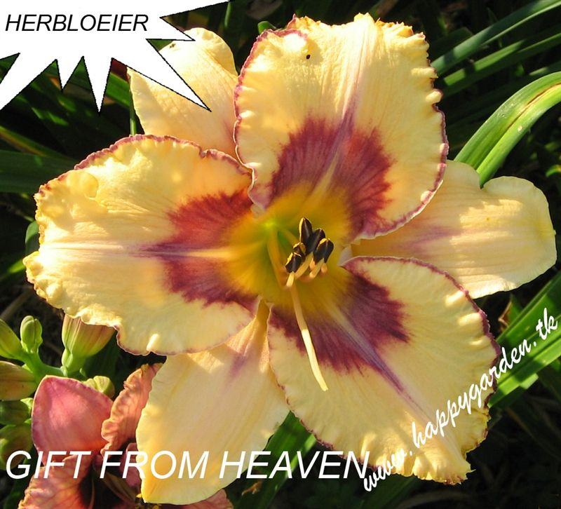 Foto: Daglelie 'Gift From Heaven'