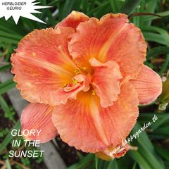 Foto: Daglelie 'Glory In The Sunset'