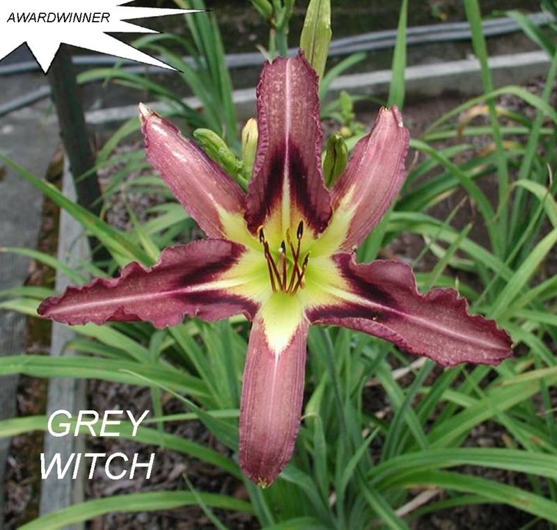 Foto: Daglelie 'Grey Witch'