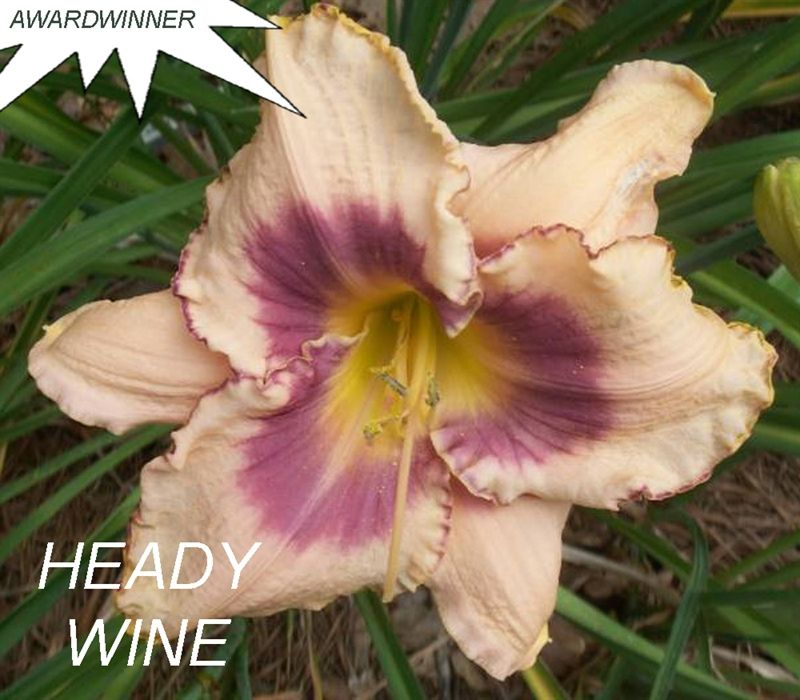 Foto: Daglelie 'Heady Wine'