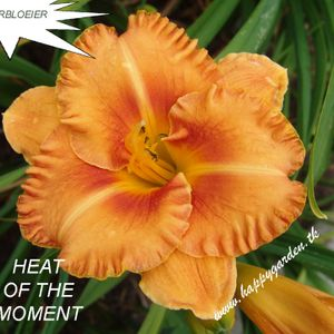 Foto: Daglelie 'Heat Of The Moment'