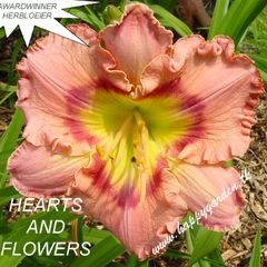 Foto: Daglelie 'Hearts And Flowers'
