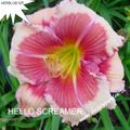 Foto: Daglelie 'Hello Screamer'