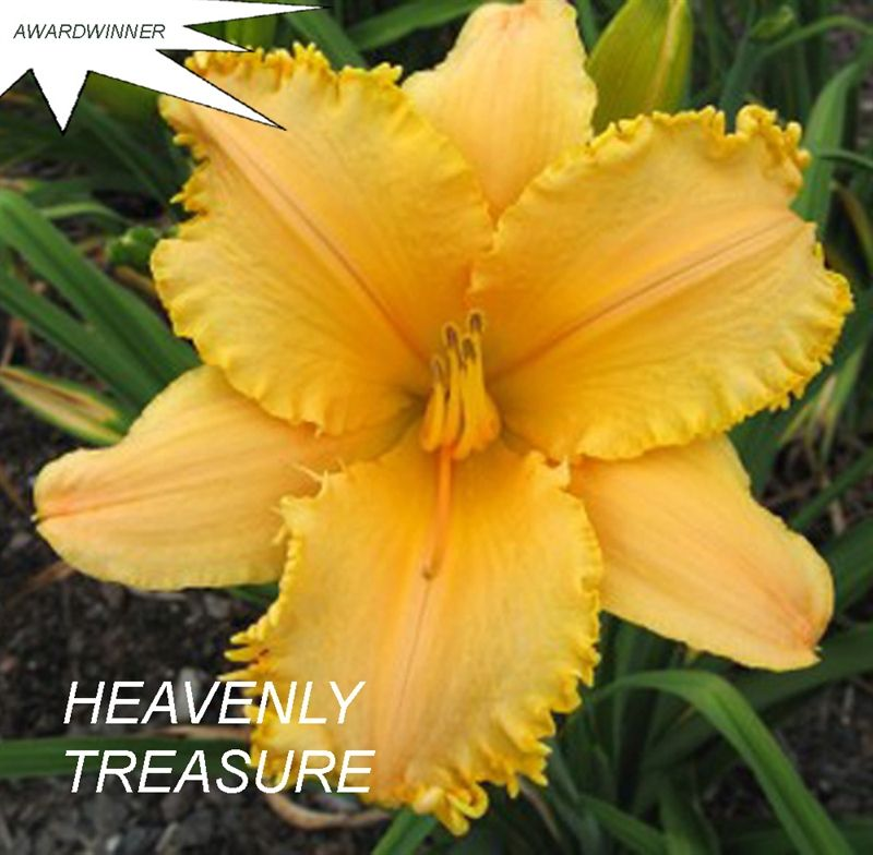 Foto: Daglelie 'Heavenly Treasure'