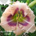 Foto: Daglelie 'Huckleberry Candy'
