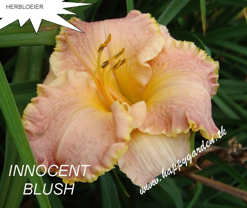 Foto: Daglelie 'Innocent Blush'