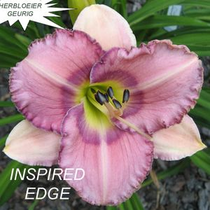 Foto: Daglelie 'Inspired Edge'