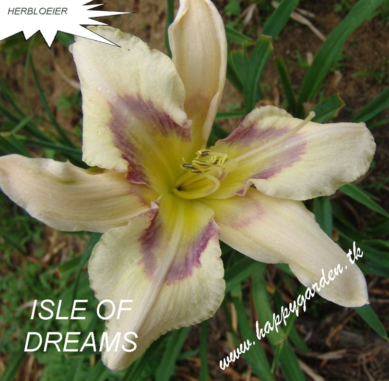 Foto: Daglelie 'Isle Of Dreams'