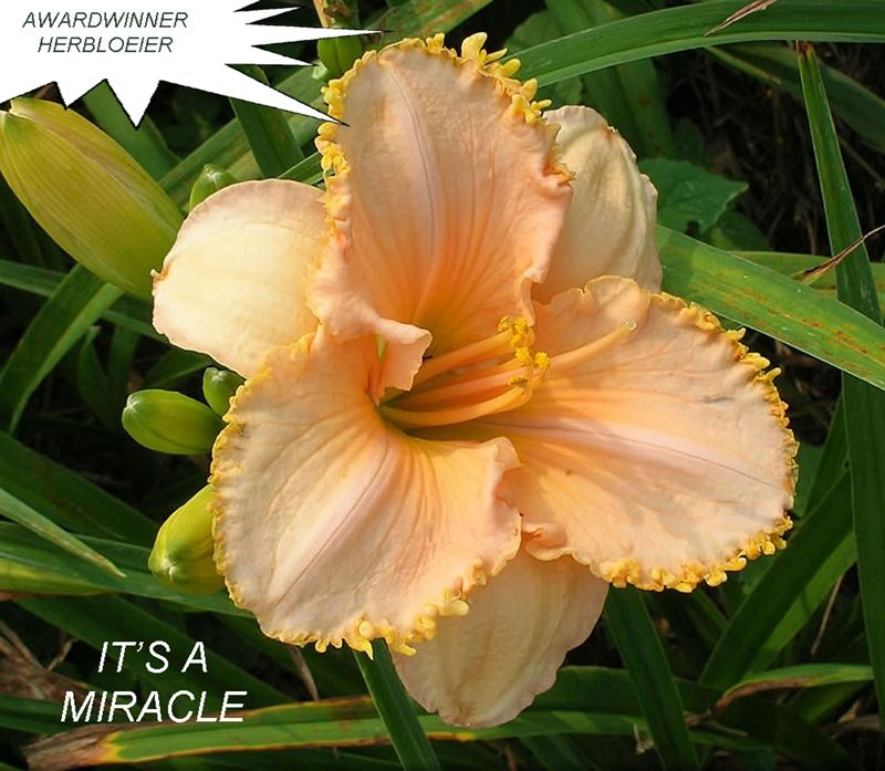 Foto: Daglelie 'It's A Miracle'