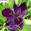Foto: Iris 'Black Gamecock'