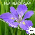 Foto: Iris 'Heather Stream'