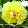 Foto: Pioen 'Itoh Yellow Crown'