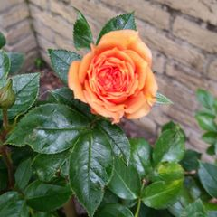 Foto: Roos 'Apricot Clementine'