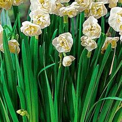 Foto: Narcis 'Bridal Crown'