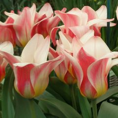 Foto: Tulp 'Heart's Delight'