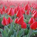 Foto: Tulp 'Red flair'