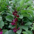 Foto: Tuinboon 'Double Red'