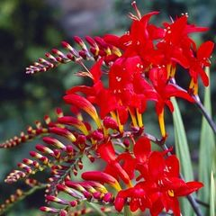 Foto: Montbretia 'Red King'