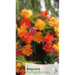 Foto: Begonia 'Golden Balcony'