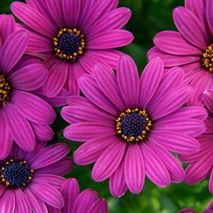 Foto: Spaanse Margriet 'Sunny Mary'