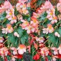 Foto: Hangbegonia 'Soft Orange'