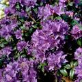 Foto: Rododendron 'Gristede'