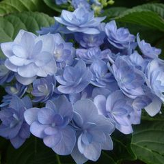 Foto: Hortensia 'You and Me Romance'