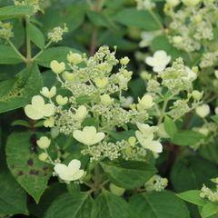 Foto: Pluimhortensia 'Early Sensation'