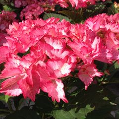 Foto: Hortensia 'French Can-Can'