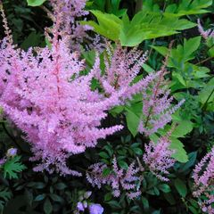 Foto: Pluimspirea 'Ice Cream'
