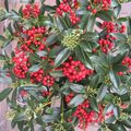 Foto: Skimmia 'Red Diamond'
