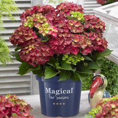 Foto: Hortensia 'Magical Ruby Tuesday'